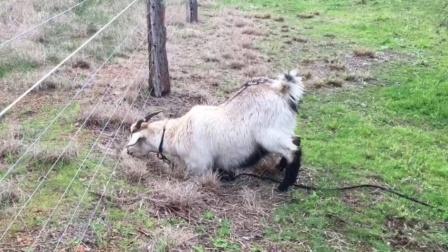 """倔羊头铁偏要吃电网旁的草,触碰电网后,它的反应""""亮""""了!"""