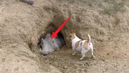 野猪死前拼命堵住洞口,洞里究竟有什么?真相让人泪目!