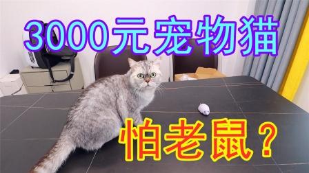 3000块钱买的宠物猫敢抓老鼠吗?买一只仿真老鼠吓猫