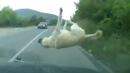 """突然闪现一道""""白影"""",来不及刹车撞个正着"""