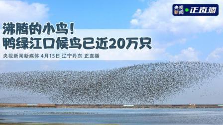 沸腾的小鸟!鸭绿江口候鸟已近20万只