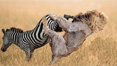 """斑马幼崽遭狮子捕杀,母斑马一脚踢中脑门,差点当场""""去世"""""""