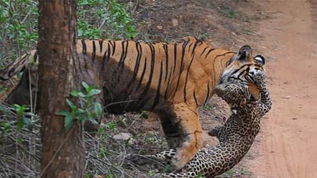 老虎大战豹子,全过程不到10秒战斗就结束,网友:太霸气!