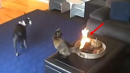 猫咪尾巴着火一脸淡定,猫:都是小场面!