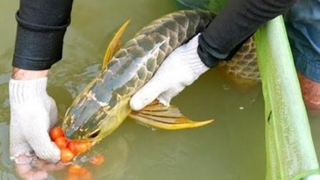 """金龙鱼艰难产卵,却被雄鱼""""一口吞了""""!"""