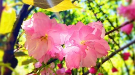 最美人间四月天 樱花烂漫正当时