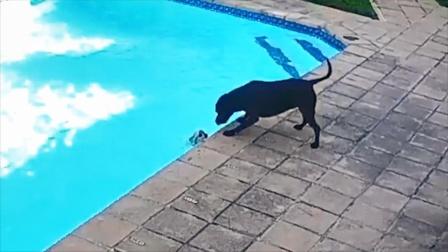 小狗不慎跌入泳池体力耗尽,斗牛梗拼命营救,过程一度让人揪心
