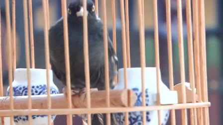 糊涂县令郑板桥:郑板桥和金冬心比试,竟由鸟来做裁判,有戏看了