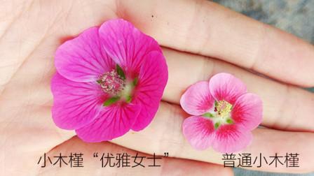 小木槿也出新品种了,花朵更大,养护只要做好简单的3点