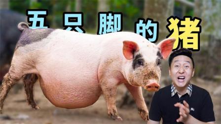 海南一大怪,有一种长5只脚的猪,实地探访真相究竟如何