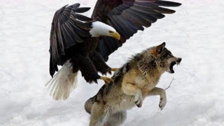 金雕战斗力有多强?轻易捕杀100多斤野狼