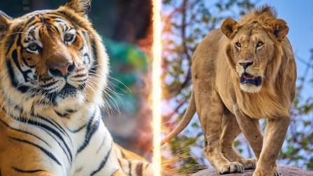 强强对决,狮子和老虎的世纪大战