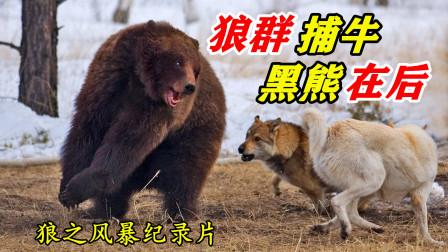 狼群捕食北美野牛,不料1头黑熊趁虚而入,偷袭了狼群巢穴