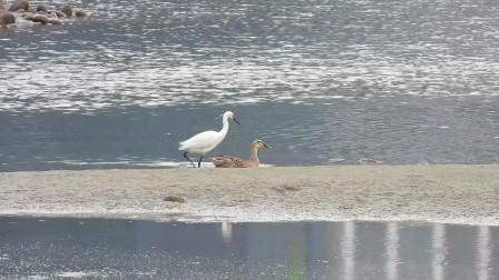 奇怪了!这只野鸭子怎么追着白鹭走呢?白鹭飞走它就站住了