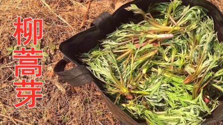 今天上山采柳蒿芽,采了满满一袋子,结果没够吃,太香了。