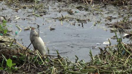 野钓:水面长满了水草,草洞里打几个窝,没想到鲤鱼这么多