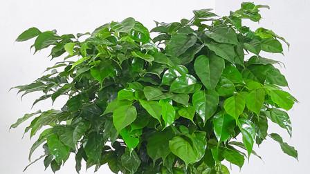 春天养幸福树,做好这4件事,叶子绿油油的,长势越来越旺盛