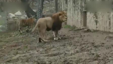 狮子气势汹汹冲过去打老虎,被老虎一招制服!