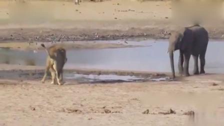 狮子捕猎大象,招招毙命,一招制敌!视频曝光