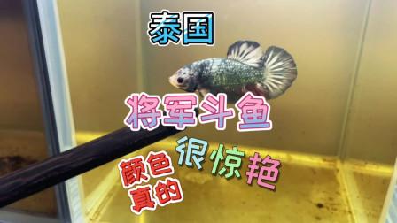 喜欢泰国斗鱼的养鱼人,自己繁殖出小鱼苗,一个房子都是,很漂亮