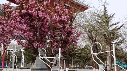 农历阳春三月,正是陇东樱花盛开的季节,去看看