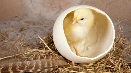 奇葩论文:熟鸡蛋能孵出小鸡?别为了捞钱,脸都不要了!