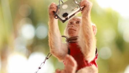 巴厘岛猴子不抢食物,开始抢手机?专家:他们开始懂人类经济学了