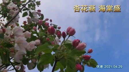 《杏花衰海棠盛》