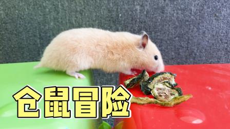 仓鼠大冒险,主人把食物放在对面,小仓鼠敢过去吗?