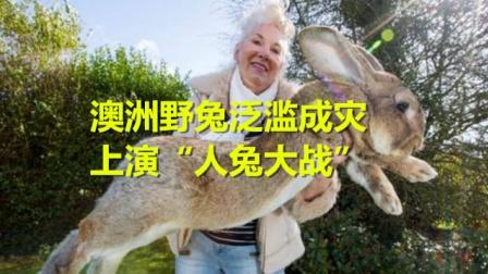 """澳洲野兔泛滥成灾,上演""""人兔大战"""",100亿只兔真的吃不完!"""