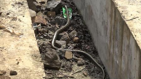 牛场集镇 废弃沟渠 发现大蛇