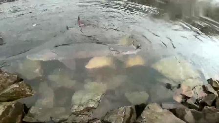 这条河在哪?大鱼都跑到岸边了,简直是钓鱼者天堂!