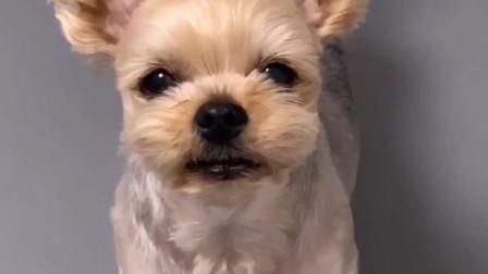 宠物狗狗搞笑视频