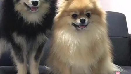 宠物狗狗日常搞笑视频