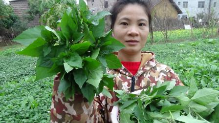 15块一斤的野菜,婶婶菜园全差不多上,2分钟摘了一大篮,要发财啦