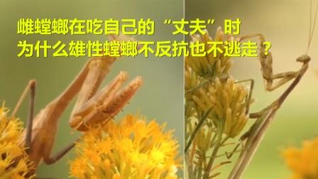"""雌螳螂在吃自己的""""丈夫""""时,为什么雄性螳螂不反抗?"""