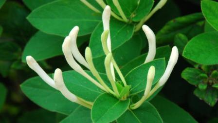 盆栽金银花爆盆了,想要摘下来泡茶的,采摘时间有讲究