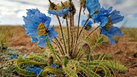 """比""""天山雪莲""""还珍贵的花,能遇见就是幸运,网友:这个直接放弃"""