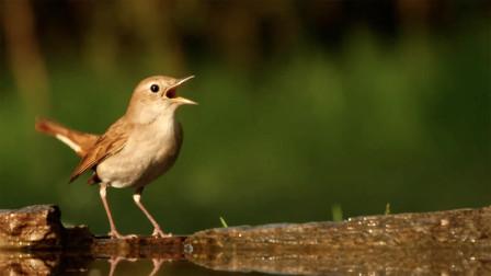 这就是夜莺鸟鸣声,高亢明亮婉转动听,真是好听了!