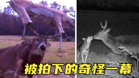 6个被拍到的最奇怪的东西,哈士奇和鹿接吻,鹿反而要当移动靶?