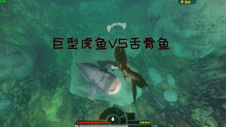 海底大猎杀:巨型虎鱼VS舌骨鱼!虎鱼能成功吞噬舌骨鱼吗