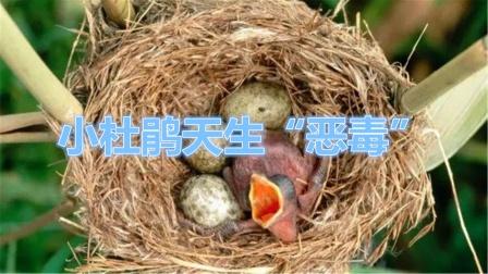 """要不是小杜鹃天生""""恶毒"""",雌杜鹃还真不敢把蛋下到别的窝里"""