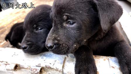 农村狗市纯黑狗落价了,300块一个都没人要,这么好的狗可惜了