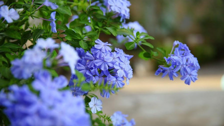 """5月养蓝雪花,做到""""3个充足"""",月底就能开爆盆,见花不见叶"""