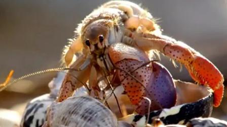 寄居蟹换错房子,超过50万只蟹被饿死!