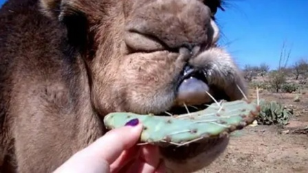 布满尖刺的仙人掌,为何能让骆驼痴迷不已?