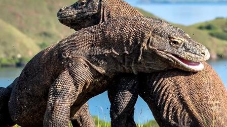最大的蜥蜴,行走像小恐龙,又像鳄鱼