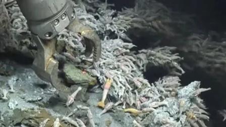永远煮不熟的虾,生活在海底火山口!