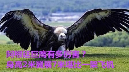 阿根廷巨鹰有多厉害?身高2米翼展7米堪比一架飞机