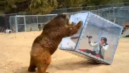 棕熊暴怒攻击钢化玻璃箱,镜头记录惊险一刻